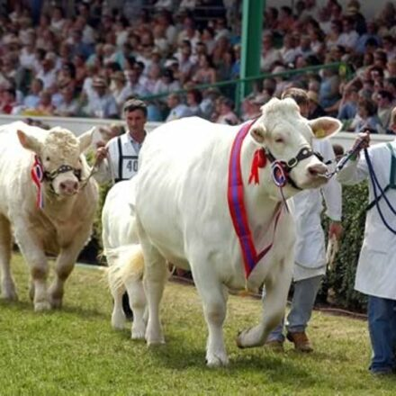 Cattle Showing & Handling